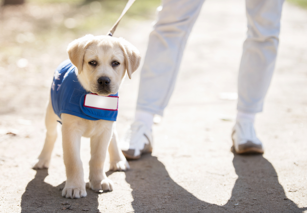 Guide dog puppy walker